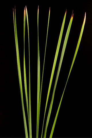 rustle-reed