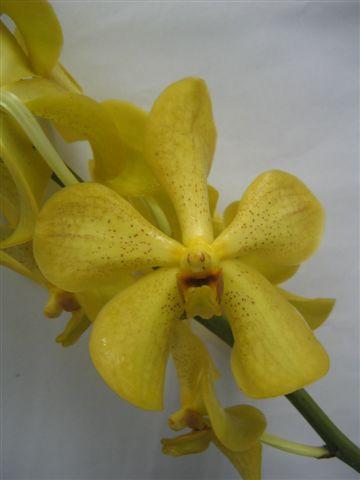 mok-sunshine-yellow