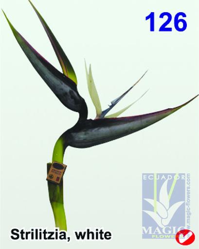 126strilitziawhite
