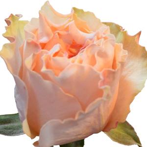 Campanella-Peach