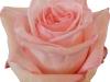 Pink-OHara