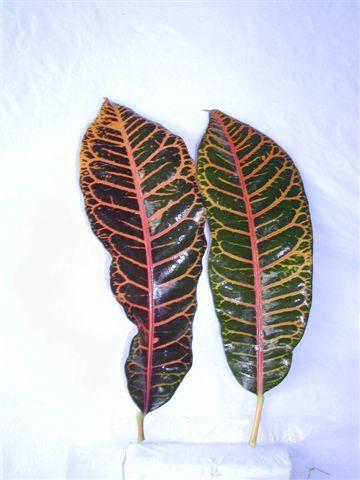 Croton Leave