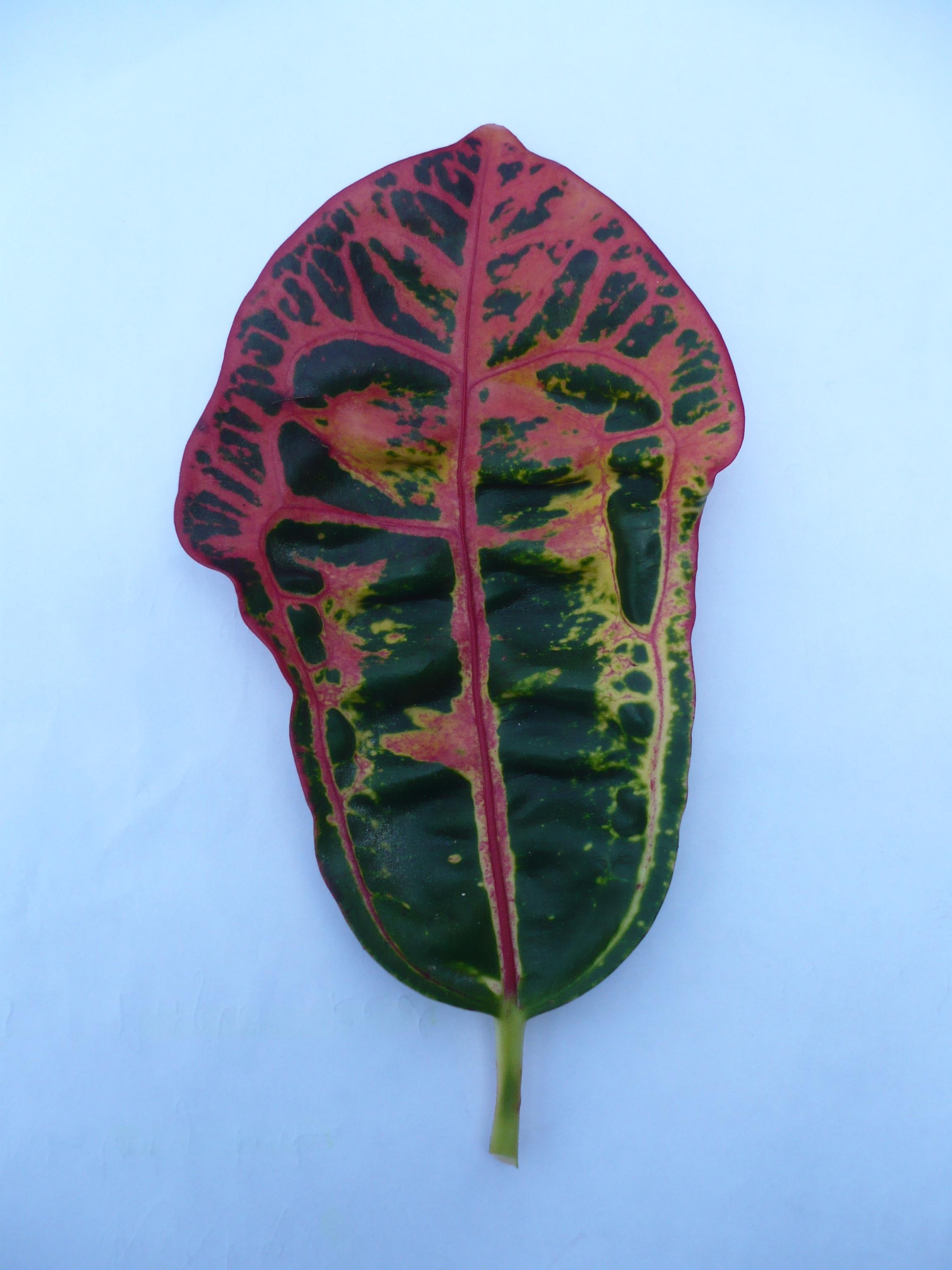 Croton klein