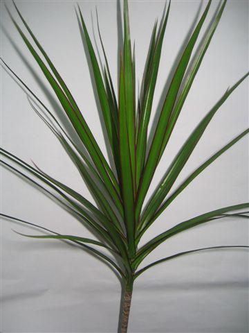 Marginata Green