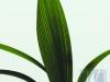 Accordeon Palm