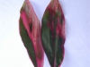 Tri Color Leaves