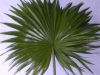 Robusta Palm