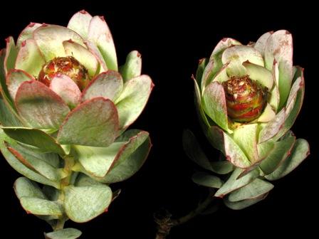 Lorianthifolium