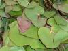 Cordata Leaves