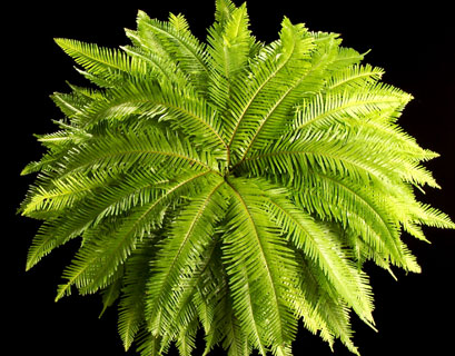 umbrella-fern-top