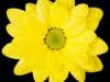 Bacardi Yellow