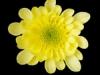 Rados Yellow
