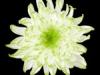 Zembla Lime