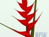 Iris Red