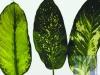 Diffenbachia mix