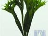 Lettuce Fern