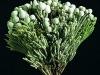 Silver Brunia