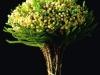 White Berzelia