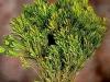 Platyspermum