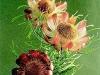 Pityphylla
